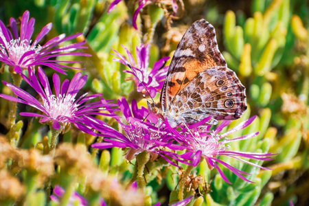 Close up of Painted lady (Vanessa cardui) butterfly pollinating a Trailing Iceplant (Delosperma cooperi) flower, California Zdjęcie Seryjne