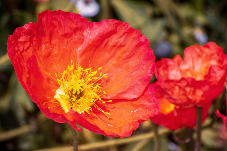 Close up of Iceland Poppy (Papaver nudicaule) blooming in a garden