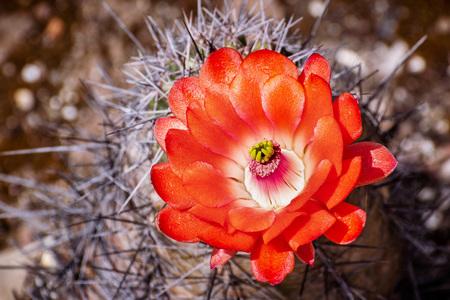 Claret Cup (Echinocereus triglochidiatus) cactus flower, California Stok Fotoğraf