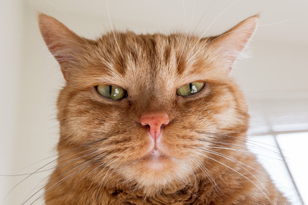 Large orange cat looking directly at the camera; the ears turned out sideways, signalling anger, annoyance, irritation;