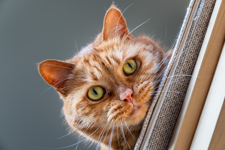 Orange cat with green eyes looking down from a chair; playful attitude
