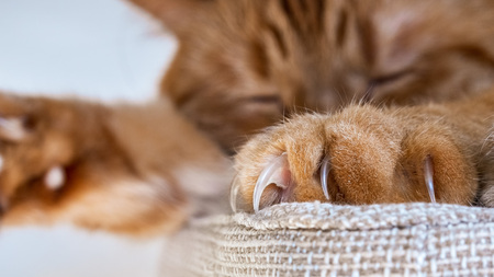 Close up of large claws visible on one of the front paws of a large orange cat sleeping on a chair; Stockfoto