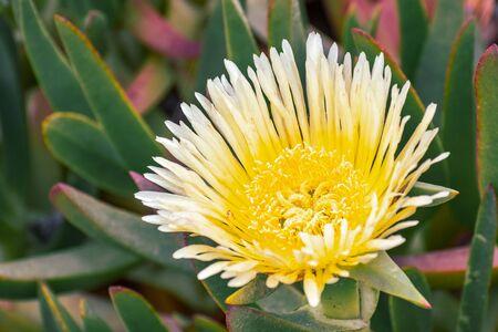 Close up of Yellow Iceplant flower (Carpobrotus edulis), California