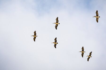 A group of Brown pelicans (Pelecanus occidentalis) flying on a blue and white sky background, California