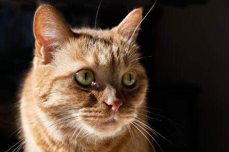 Orange cat looking to the right; illuminated by bright sun on one side; dark background