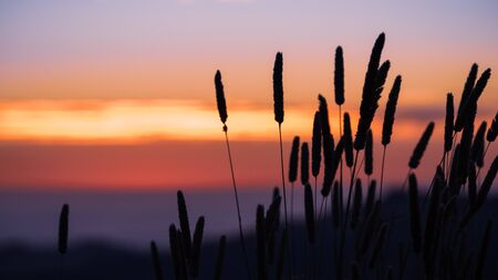 Tall Harding Grass (Phalaris aquatica) silhouette at sunset; colorful sky visible in the background; Santa Cruz mountains, California; These grasses are native to Southern Europe and the Caucasus