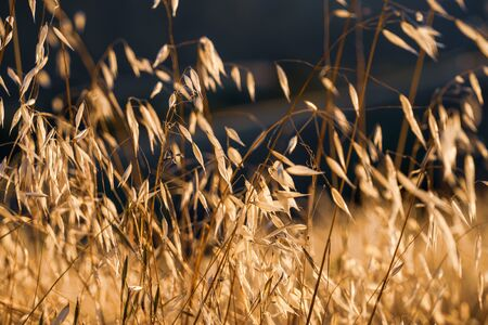 Dry Oat grass shining on the sunset light; Oat grass is considered invasive in California Banco de Imagens