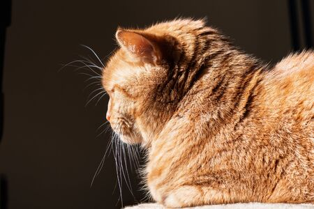 Profile of orange cat (mixed breed; half Persian) illuminated by bright sun; dark background