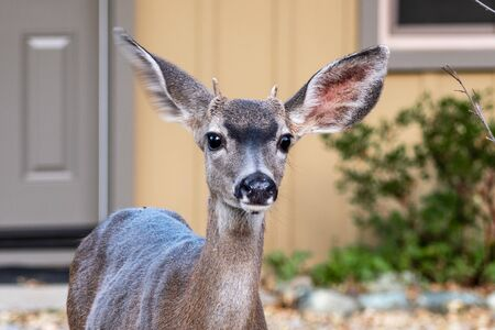 Portrait of juvenile male Black tailed deer sitting in front of a house in the Santa Cruz mountains, South San Francisco Bay area; Focus on eyes with shallow depth of field