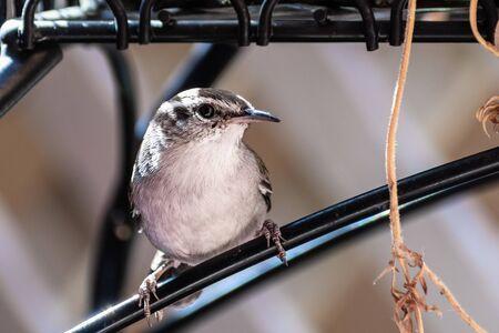 Close up of Bewicks wren bird looking at the camera;