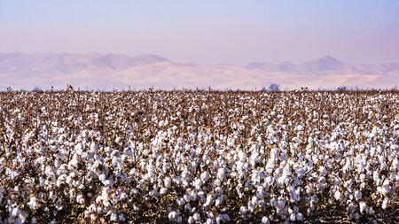 Campo di cotone pronto per la raccolta; inquinamento e foschia visibili nell'aria, che rendono difficile vedere le montagne sullo sfondo; California centrale Archivio Fotografico