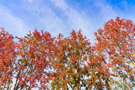 American sweetgum (Liquidambar styraciflua) trees turning bright orange and red during fall; sunny day with blue sky background; fall concept Stock Photo