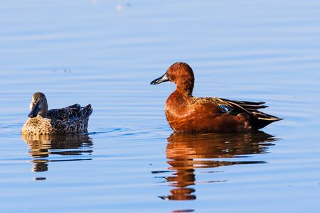 Pair of Cinnamon Teal (Spatula cyanoptera) ducks swimming in a pond at Merced National Wildlife Refuge Stock Photo