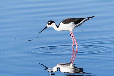Black-necked Stilt feeding in the shallow wetlands of Merced National Wildlife Refuge, Central California