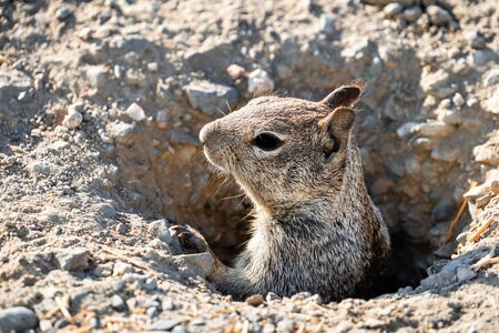 Close up of California ground squirrel (Otospermophilus beecheyi) head peeking out from a burrow; Merced National Wildlife Refuge, Central California
