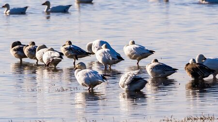 Rosss Geese (Anser rossii) and Snow Geese (Chen caerulescens) resting in a pond in the wetlands of Merced National Wildlife Refuge, Central California