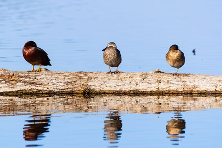 Cinnamon Teal (Spatula cyanoptera) ducks sitting on a log in the wetlands at Merced National Wildlife Refuge, Central California Stock Photo