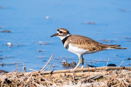Close up of Killdeer (Charadrius vociferus) on the shoreline of a pond in Merced National Wildlife Refuge, Central California Stock Photo
