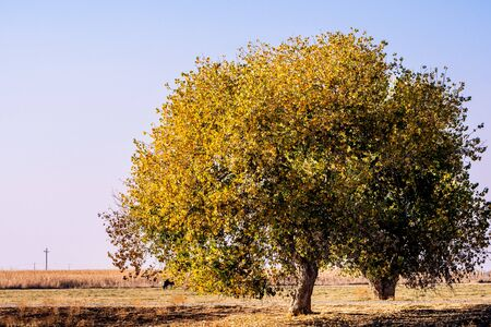 Fremonts cottonwood (Populus fremontii) tree with gold and orange fall foliage growing; Merced County, Central California Stock Photo