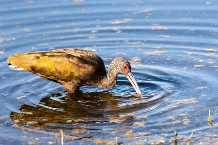 Close up of White-faced Ibis (Plegadis chihi) searching for food in the shallow wetlands of Merced National Wildlife Refuge, Central California