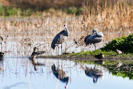 Lesser Sandhill Cranes wintering on the wetlands of Merced National Refuge, Central California