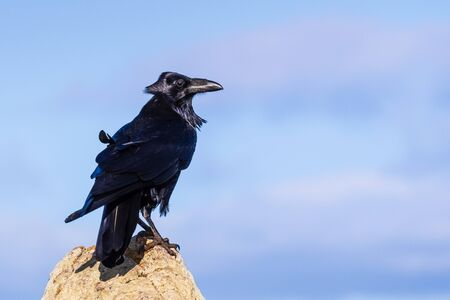 Close up of large raven perched on a rock on a windy day; clouds and blue sky visible in the background; Point Reyes, California