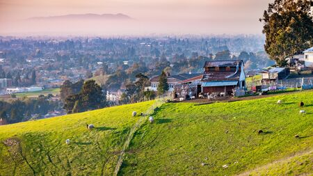 Farm on the verdant hills of East San Francisco Bay Area; Sheep and goats visible on the green pasture; residential neighborhoods visible in the background 版權商用圖片 - 138271695