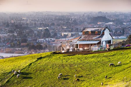 Farm on the verdant hills of East San Francisco Bay Area; Sheep grazing on the surrounding green pasture; residential neighborhoods visible in the background
