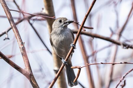 Oak titmouse (Baeolophus inornatus) holding a sunflower seed perched on a branch; blurred background, San Francisco bay area, California