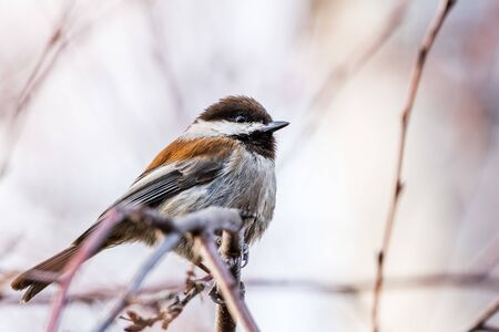 Close up of Chestnut backed Chickadee (Poecile rufescens) perched on a branch; blurred background, San Francisco bay area, California Banco de Imagens