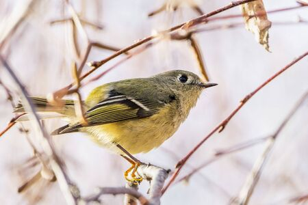 Close up of Ruby-crowned Kinglet (Regulus calendula) perched on a branch; blurred background, San Francisco bay area, California Banco de Imagens