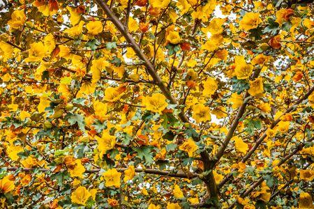 California Flannelbush (Fremontodendron californicum) flowering in spring, California; background for spring season