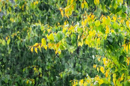 Heavy rain falling on green foliage, on a stormy spring day; San Francisco Bay Area; California