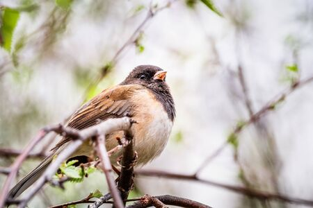 Dark Eyed Junco (Junco hyemalis) perched on a tree branch in a birch tree, California; selective focus, shallow depth of field