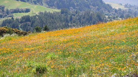 California Poppies (Eschscholzia californica) growing on a hillside on a sunny day, Santa Cruz mountains, California