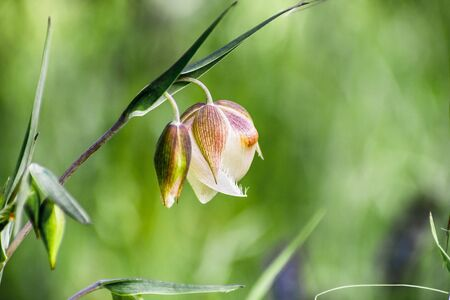 Close up pf Fairy lantern (Calochortus albus) wildflower blooming in the forests of Santa Cruz mountains, California
