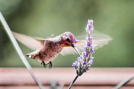 Close up of male Anna's Hummingbird drinking nectar from a French lavender flower; iridescent reddish-pink feathers visible on the head and throat; San Francisco bay area, California