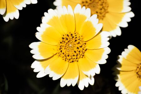 Close up of Layia platyglossa wildflower, commonly called coastal tidytips, blooming in Santa Cruz mountains; California; dark background Banco de Imagens