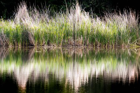 Cattail reflected in the calm water surface of a pond, San Francisco Bay Area, California