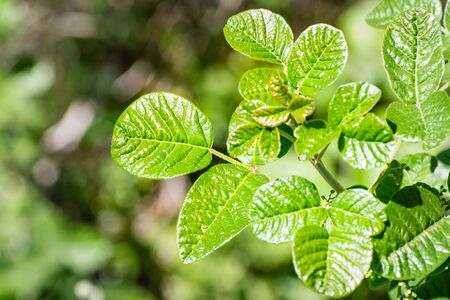 Close up of shiny Pacific Poison oak (Toxicodendron diversilobum) leaves, California