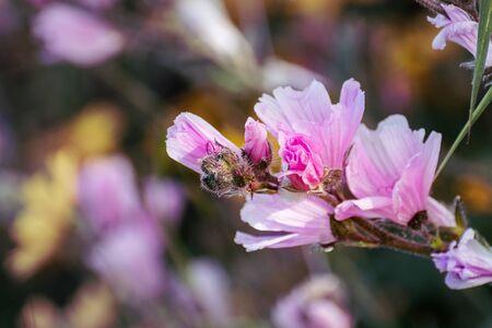 Close up of Checkerbloom (Sidalcea malviflora) wildflowers blooming on the hills as Santa Cruz mountains, California