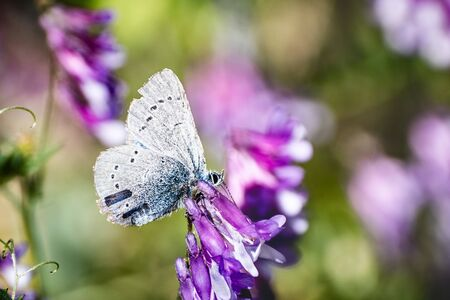 Close up of Silvery Blue (Glaucopsyche lygdamus) butterfly with tattered wings, feeding on a vetch flower; Santa Cruz mountains, California Banco de Imagens
