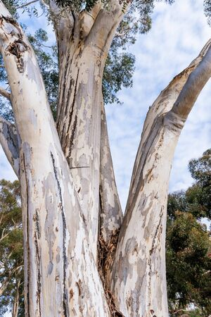 Close up of the large trunk of an eucalyptus tree growing in a park in South San Francisco Bay Area, California; eucalyptus trees are native to Australia and are considered invasive in California