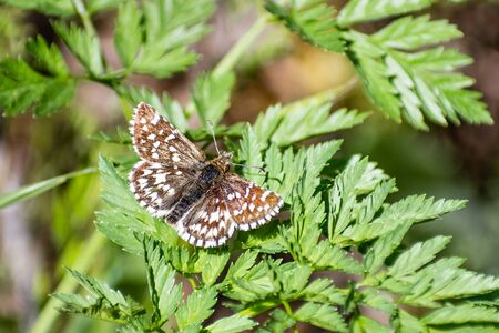 Close up of Two-banded Checkered Skipper (Pyrgus ruralis) butterfly resting on a plant; Santa Cruz mountains, California