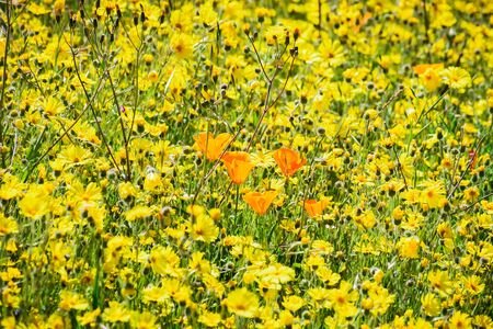 Field of wildflowers, with a few California Poppies surrounded by yellow Common Madia; Santa Cruz mountains, California