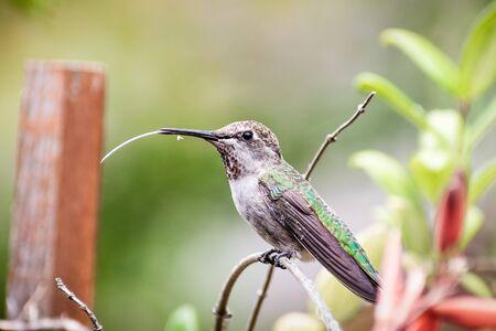 Anna's Hummingbird perched on a plant, flicking its long tongue; San Francisco bay area, California