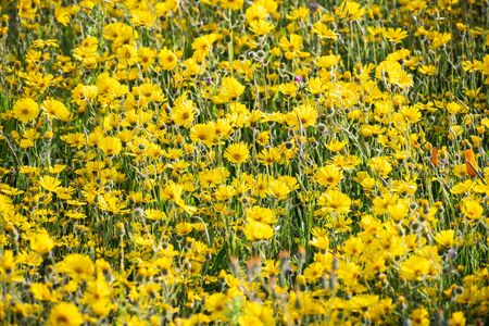 Common Madia (Madia elegans) wildflowers blooming on a meadow in San Francisco Bay Area, California