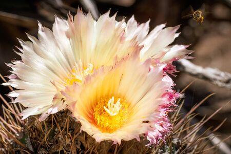 Close up of Hedgehog cactus (Echinocereus) yellow flowers, California