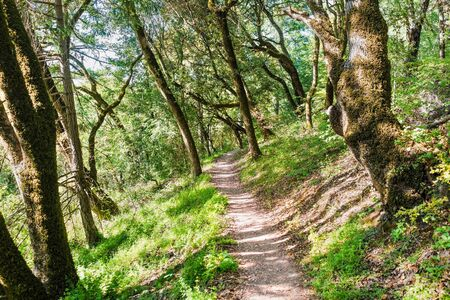 Hiking trail through the forests of Santa Cruz Mountains, San Francisco bay area, California