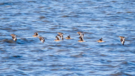 A flock of Willet birds (Tringa semipalmata) birds flying over the waters of San Francisco Bay, Palo Alto, California; blue water surface background